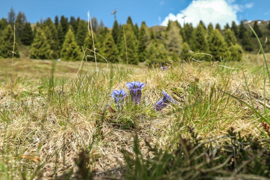 Pflanze in der Südtiroler Bergwelt