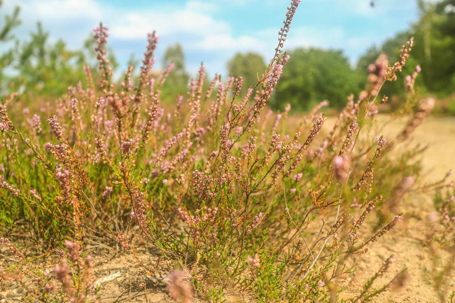 Blühendes Heidekraut in der Kyritz Ruppiner Heide